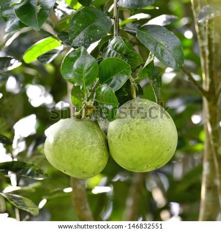 Green Pomelo fruit on its tree - stock photo
