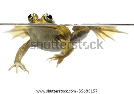 green pond frog swimming isolated on white rana esculenta pelophylax lessonae freshwater pond animal spring amphibian underwater - stock photo