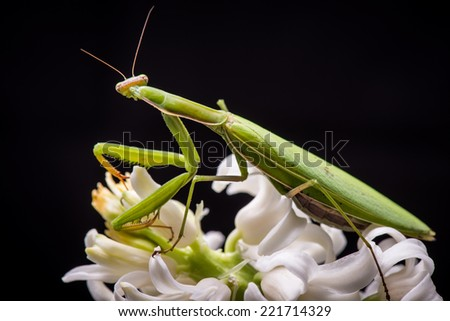 green praying mantis on white flower - Mantis religiosa