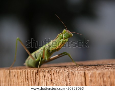 Green praying mantis on wood looking into the camera - stock photo