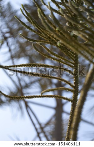 Green prickly branches of a fur-tree or pine