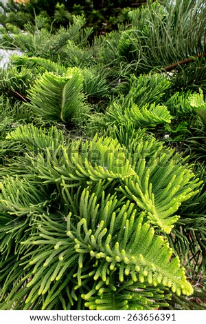 green prickly branches of a fur-tree or pine,Background of Christmas tree branches - stock photo