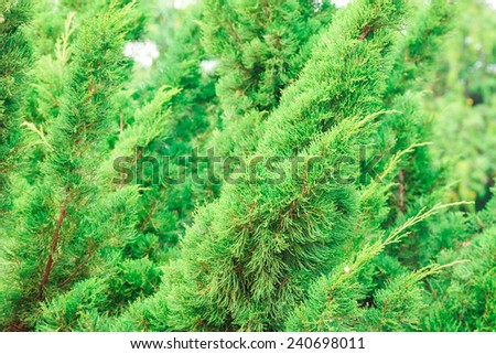 green prickly branches of a fur-tree or pine  tree - stock photo
