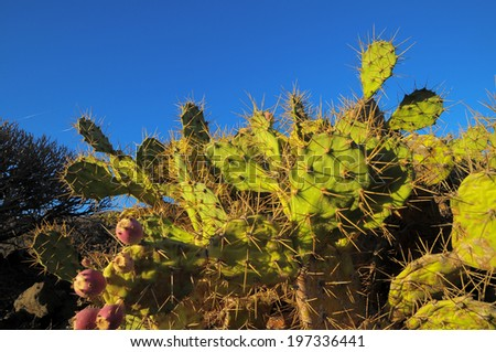 Green Prickly Pear Cactus Leaf in the Desert - stock photo