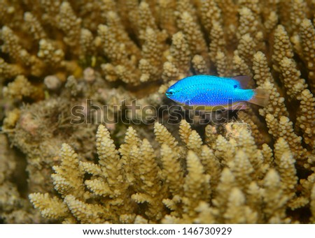 Green puller, fiji - stock photo