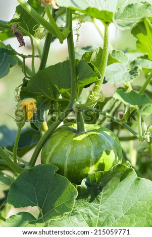 green pumpkin - stock photo
