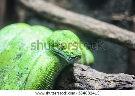 Green Python, snake - stock photo