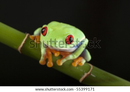Green red-eyed tree frog