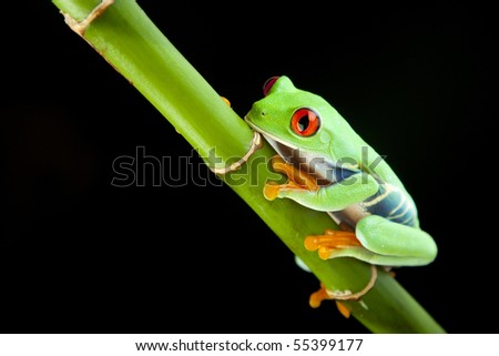 Green red-eyed tree frog - stock photo