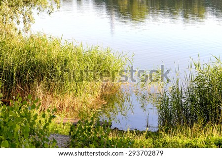 Green reeds are growing close to the lake in summer. The evening light plays with the wind and creates a quiet atmosphere. - stock photo