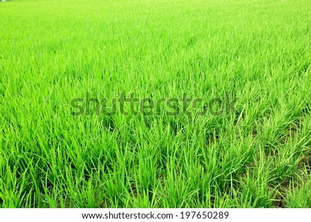 green rice farm - stock photo