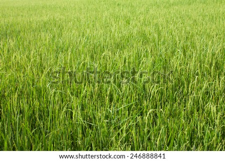 Green rice field agriculture farm background from THAILAND. - stock photo
