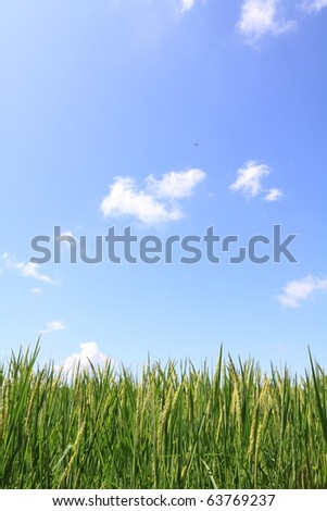 green rice field and blue sky - stock photo