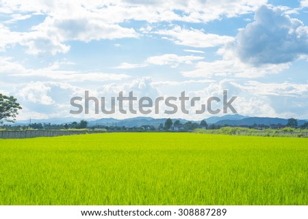 Green rice field background of nature landscape.