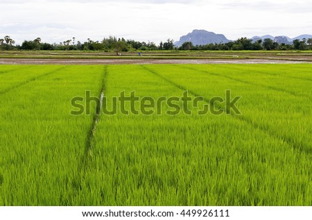 Green rice field from Cha-Am Phetchaburi Thailand. - stock photo