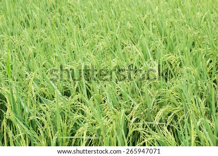 Green rice field in Thailand. - stock photo