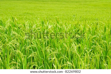 Green rice field in Thailand - stock photo