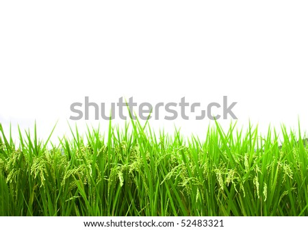 green rice field isolated on white background