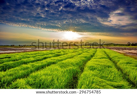 Green rice field on sunset background