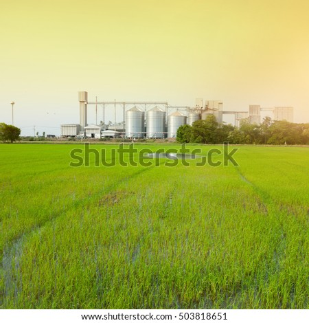 green rice field,square crop