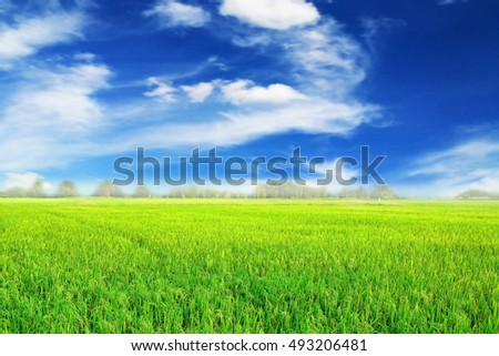 green rice field with blue sky landscape background