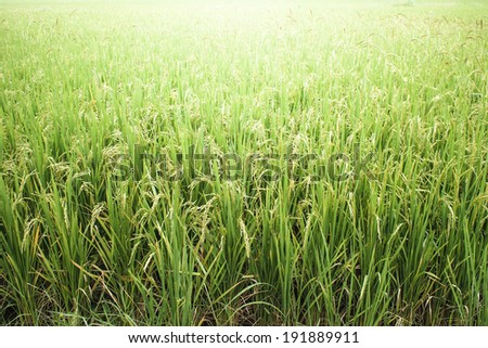 green rice field with light radius