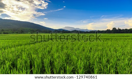 Green Rice Field with Mountains Background  under Blue Sky, Chiang Mai, Thailand - stock photo