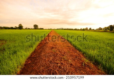 Green Rice Fields and Country Road at Morning Sunrise  - stock photo