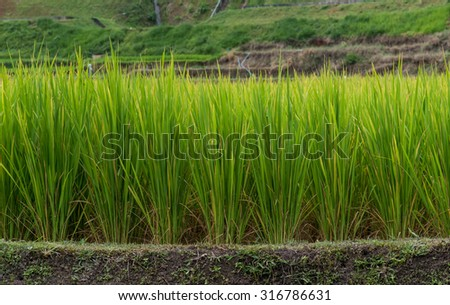 Green rice fields in Northern Highlands of Thailand - stock photo