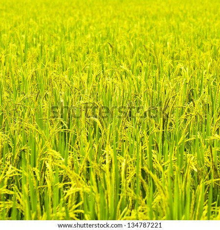 Green rice fields in Northern Highlands of Thailand South East Asia [Square Size] - stock photo