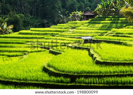 Green rice fields on Bali island, Jatiluwih near Ubud, Indonesia - stock photo