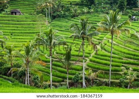 Green rice fields on Bali island, Jatiluwih. near Ubud, Indonesia, Asia - stock photo