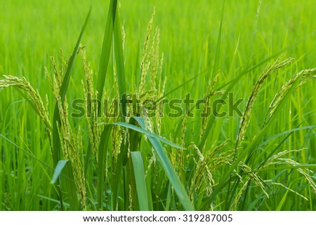 Green rice in Cultivated Agricultural Field Early Stage of Farming Plant Development (Selective Focus with Shallow Depth of Field) - stock photo