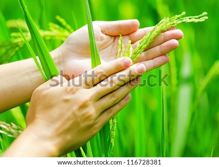 Green rice in woman's hands. - stock photo