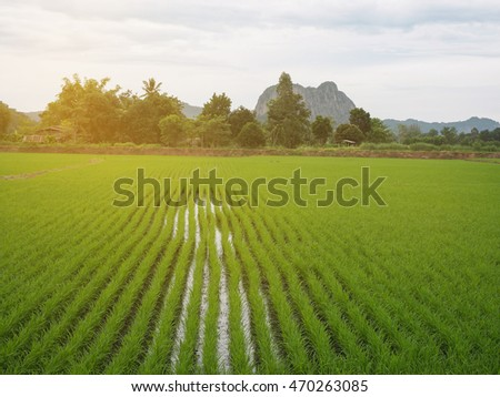 Green rice plant in the paddy fields.