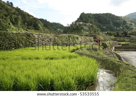 green rice plants growing in the rice terraces of banaue, northern luzon in the philippines - stock photo