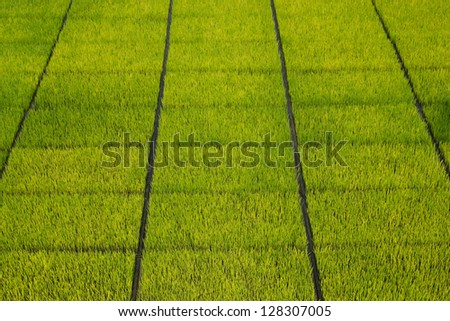 Green rice seedlings in the ground - stock photo