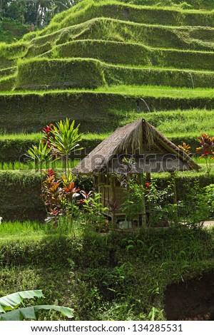 Green rice terrace  on Bali island,  Indonesia - stock photo