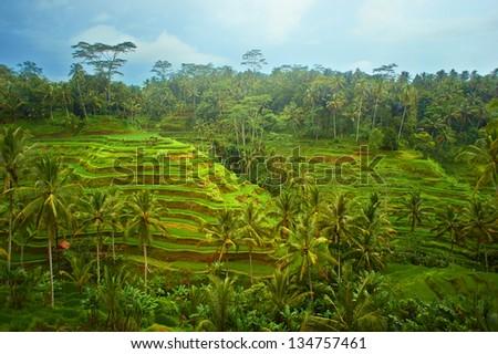 Green rice terraces on Bali island, Indonesia - stock photo