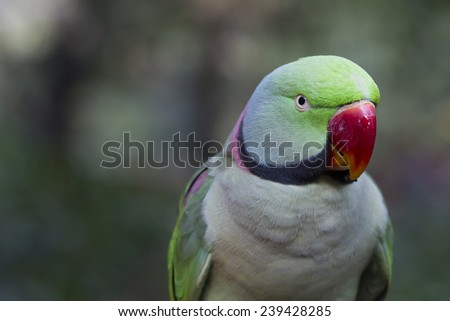 Green Ringneck Parrot - stock photo