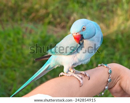 Green Ringneck Parrot are on the arm caretakers. - stock photo