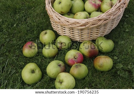 Green ripe apples  on grass lawn ready to be harvested - stock photo
