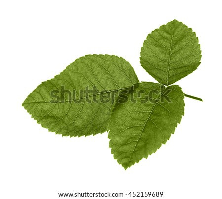Green rose leaf isolated on white