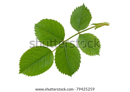 Green rose leaf isolated on white background