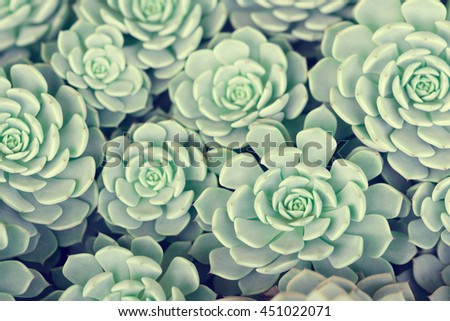 Green rosettes of the sempervivum succulent plant - stock photo