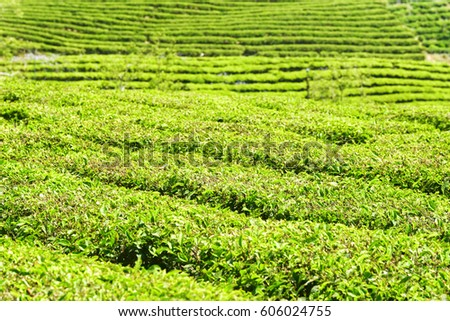 Green rows of bushes on tea plantation. Bright fresh upper leaves of tea.