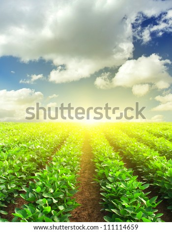 Green rows on field and sunshine. Agricultural composition - stock photo