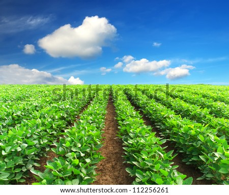 Green rows on the field and bright clouds. Agricultural composition - stock photo