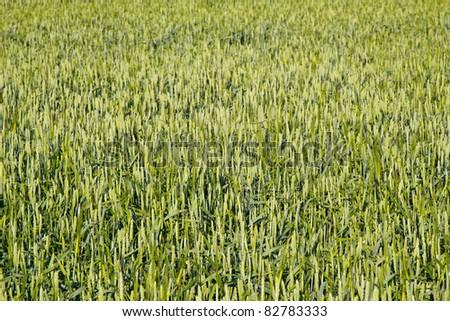 green rye field - stock photo