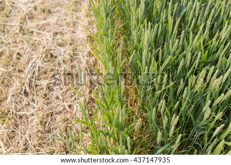 Green rye. Part of field  has been harvested  for the production of whole crop silage. - stock photo